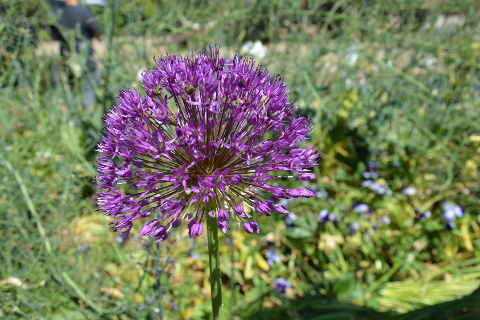 Allium Ambassador in Artis
