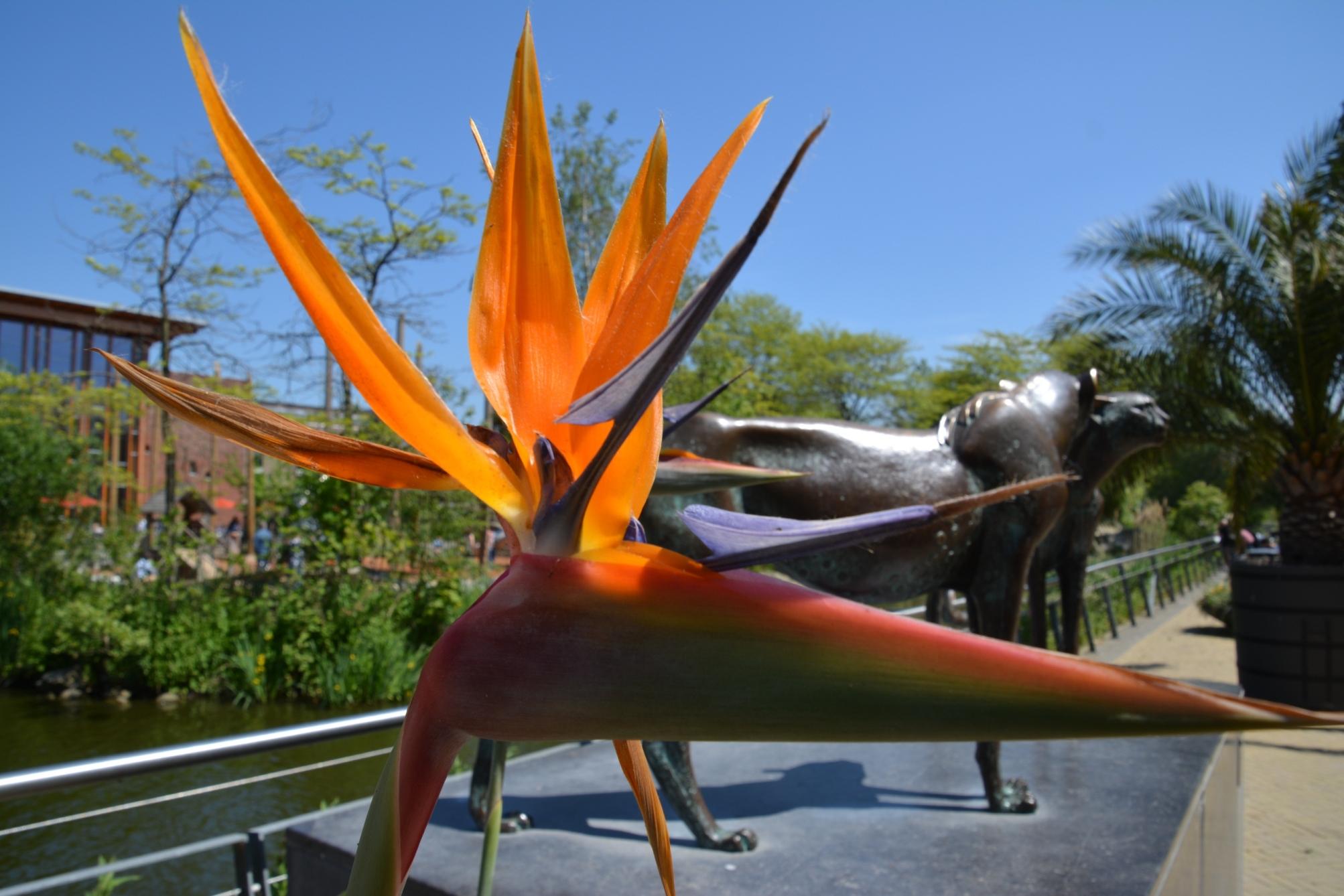 Strelitzia Reginae (Paradijsvogelbloem) in Artis
