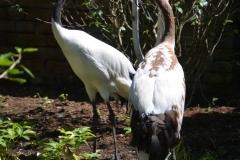 Japanse kraanvogels in Artis