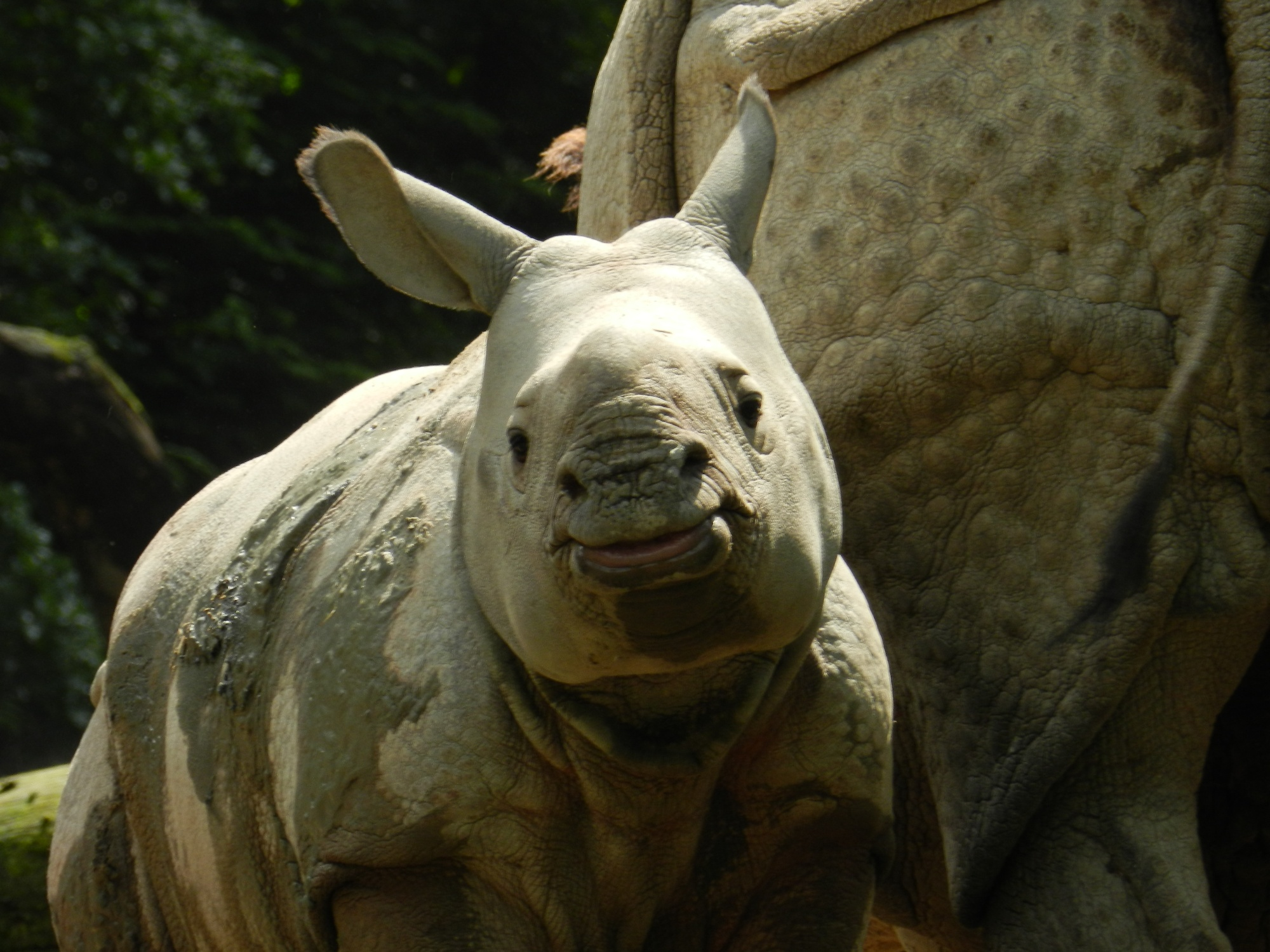 Jone neushoorn te Amersfoort