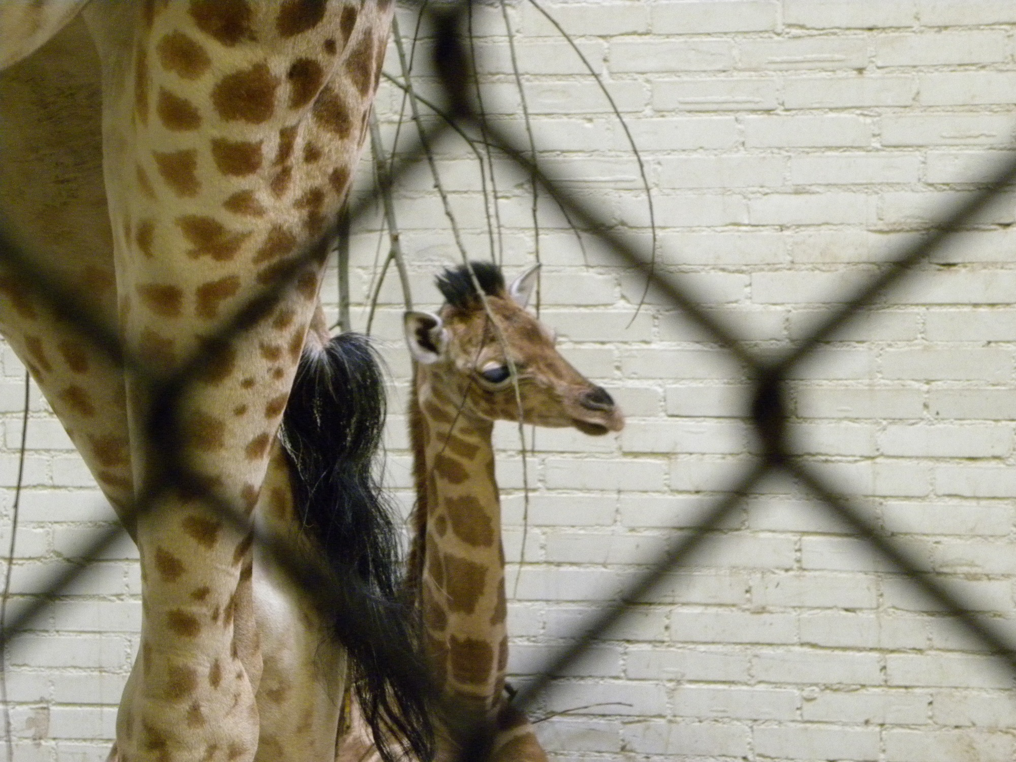 Jonge giraffe Alonge - grote slanke jongen - geboren op 10 februari 2010 en op de foto 17 dagen oud