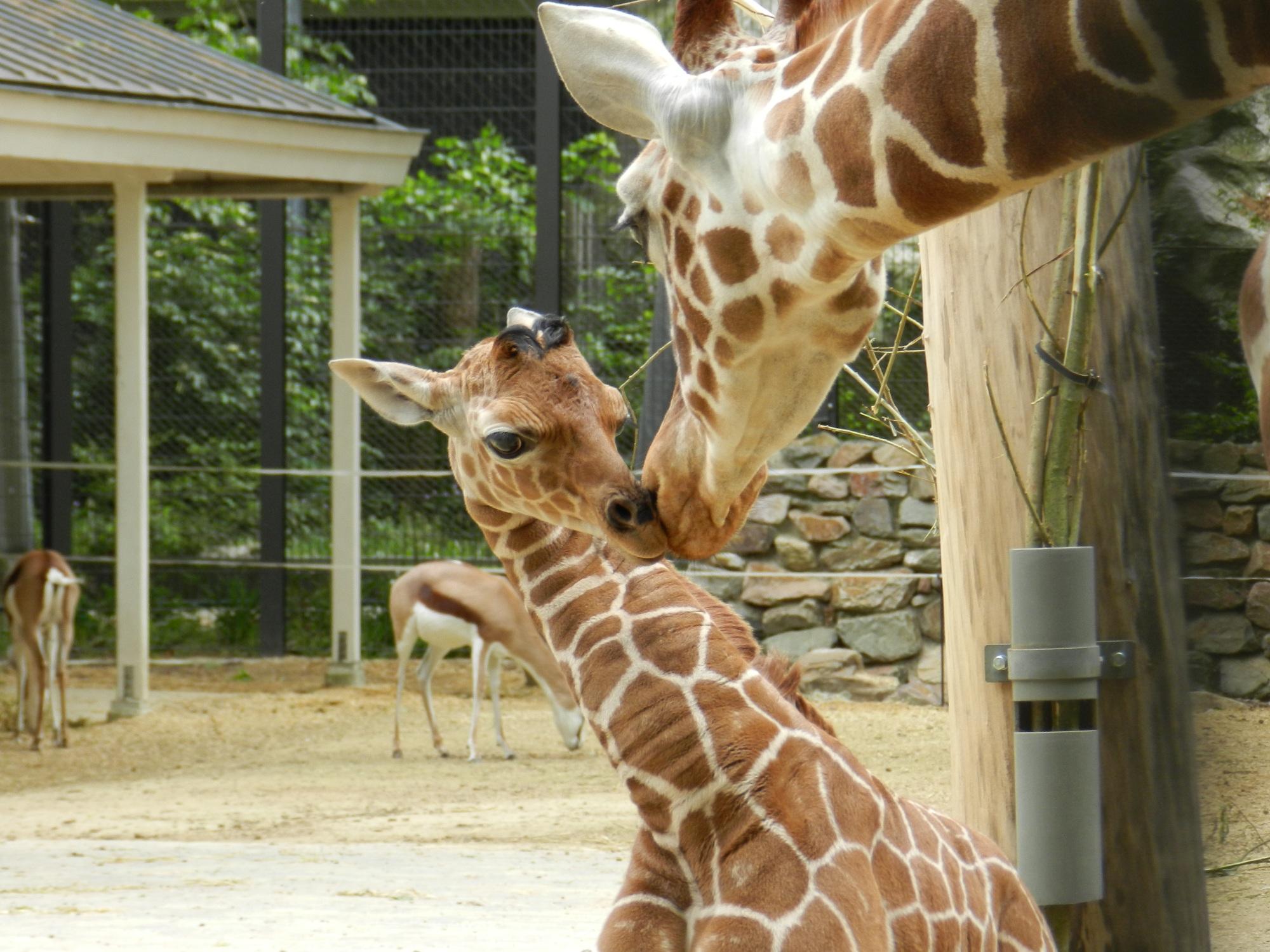 Jonge giraffe met moeder