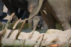 Jonge Aziatische olifant te Artis