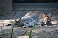 Bennett Wallaby in Artis