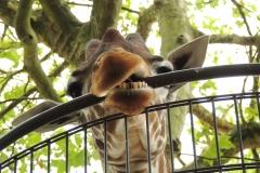 Giraffe bijt op stang van hek