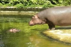 Nijlpaard te Emmen