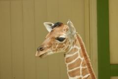 Jonge giraffe te Artis