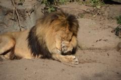 Leeuw lijkt verlegen te zijn