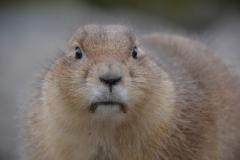 Prairiehond zoekt contact