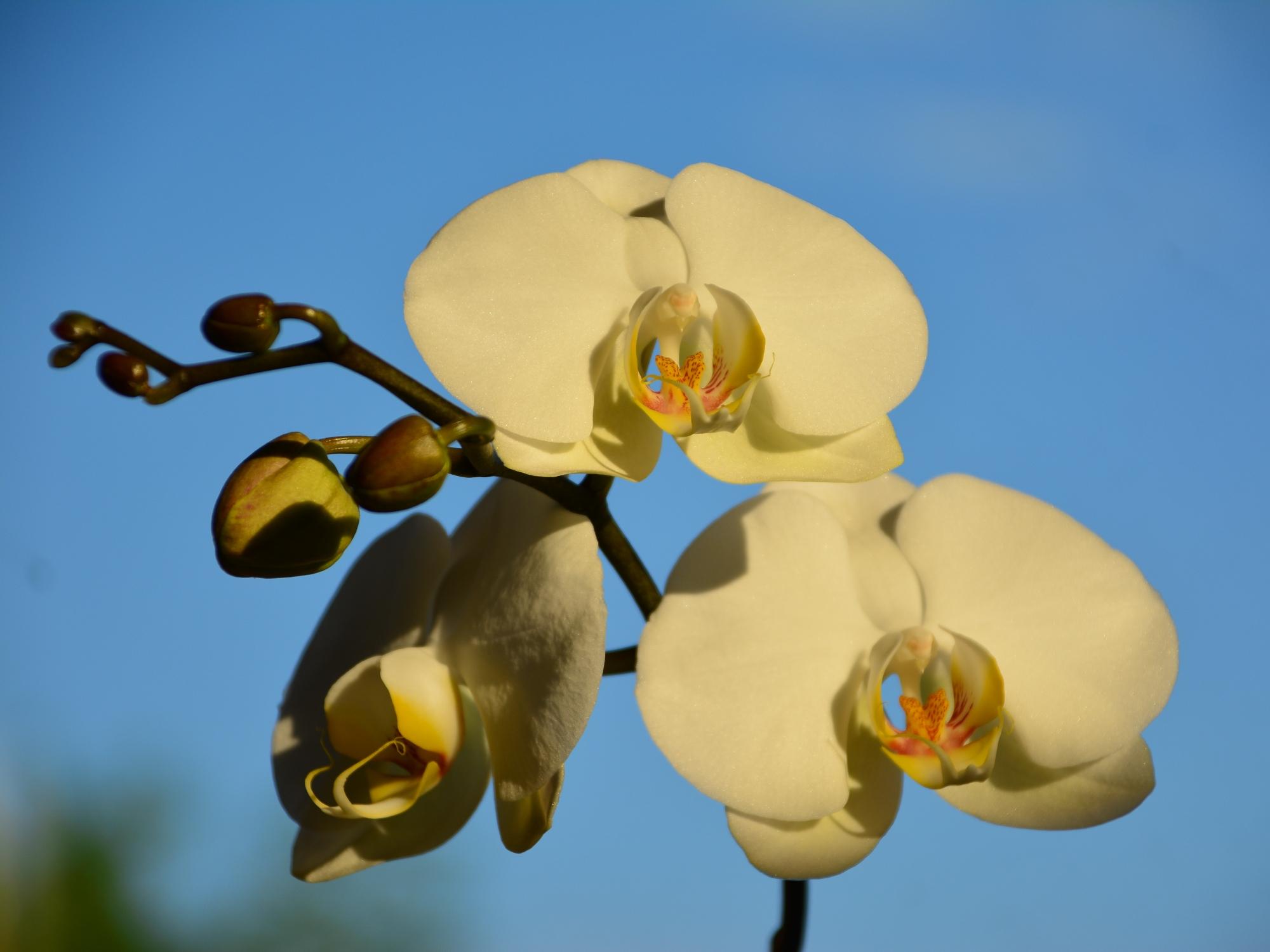Orchidee bloeit opnieuw
