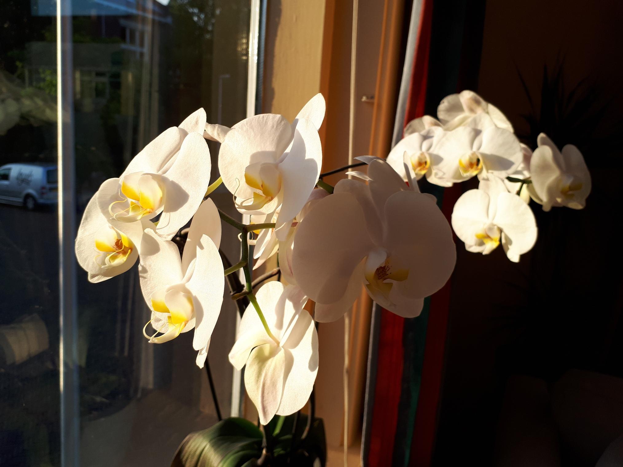 Orchidee met 18 bloemen