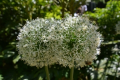 Allium White Giant in Artis