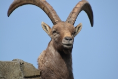 Steenbok te Artis