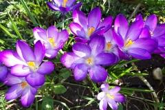 Paarse krokussen in bloei