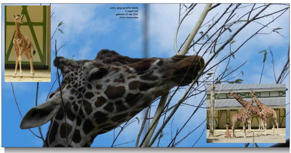 Impressie fotoboek over giraffe