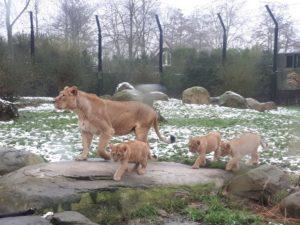 Blijdorp - leeuwin en welpjes